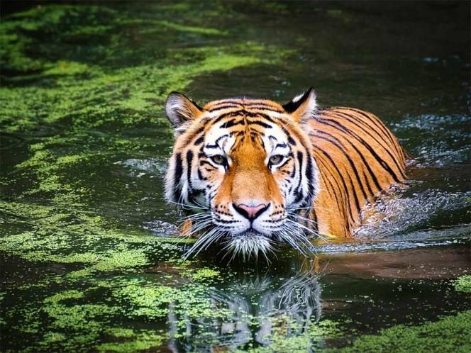 Crece población de tigres en Tailandia