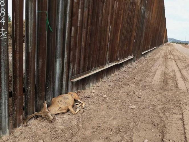 Laiken Jordahl, activista del Centro para la Diversidad Biológica explicó a Excélsior que el venado Bura fue hallado muerto el pasado domingo 16 de agosto cerca de Dos Lomitas, Arizona.