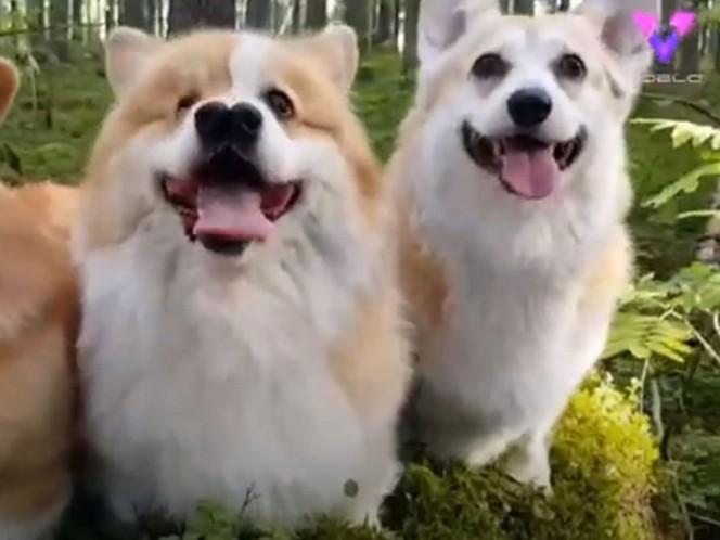 Corgi con dos narices desafía a veterinarios y enamora a la red