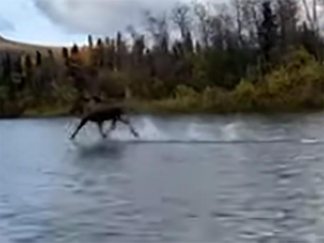 Este alce parece caminar sobre el agua de un río en Alaska; en redes intentan saber cómo lo hizo.