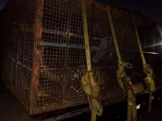 FGR asegura una leona y 2 tigres de bengala en Sonora
