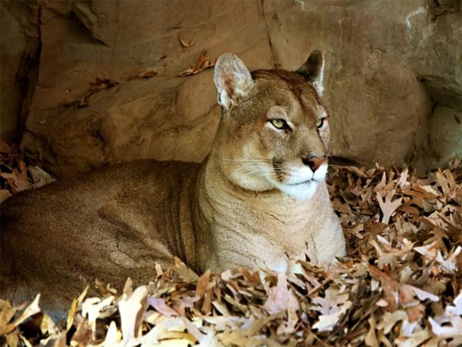 Puma ataca a cazador y las autoridades buscan sacrificarlo