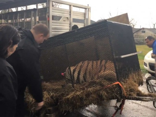 Entró a fumar 'mota' a casa abandonada y... salvó a un tigre