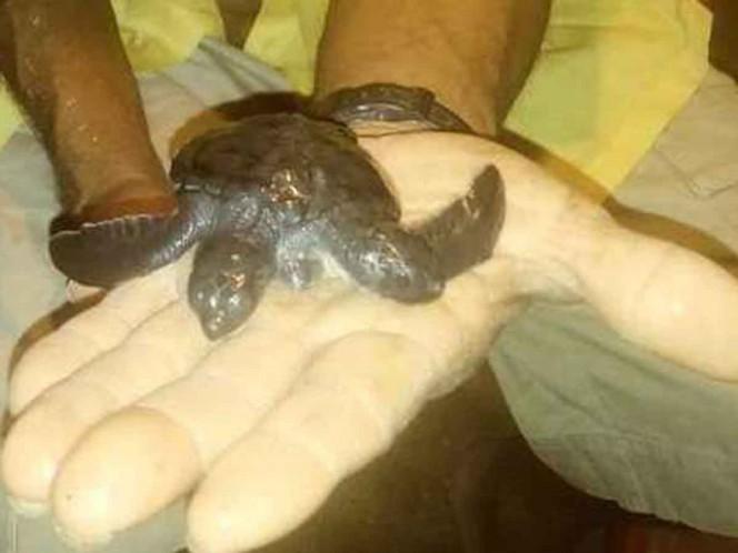 Encuentran tortuga de dos cabezas en Michoacán