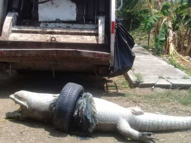 Indigna muerte de cocodrilo en Veracruz, ¡una llanta lo asfixió!
