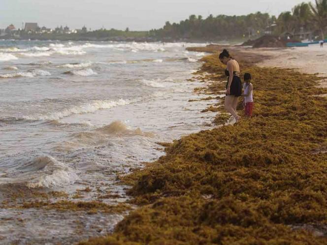 Mal tiempo arrastra isla de sargazo a playas de San Benito, Yucatán - Excélsior