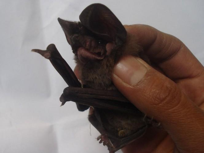 ¿Por qué los virus de murciélagos son tan mortales para los humanos?