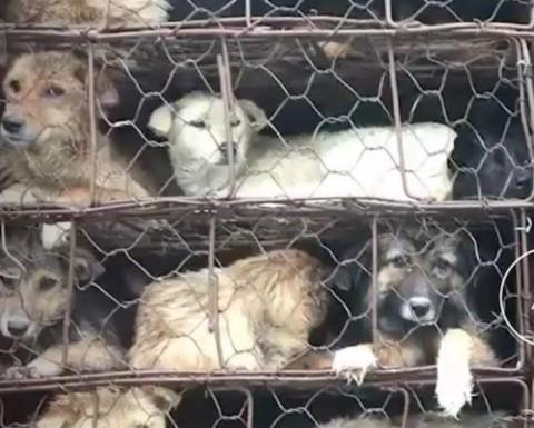 Multitud salva a casi mil perritos; iban al matadero