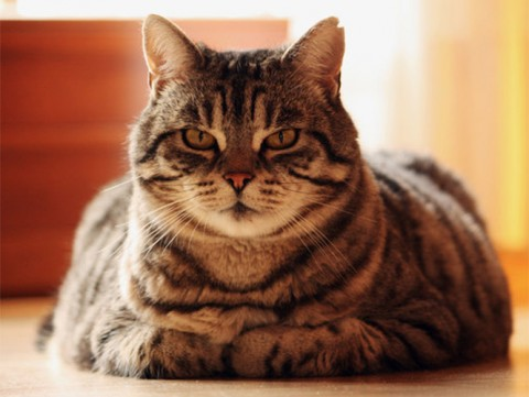 Gatos obesos pueden desarrollar diabetes
