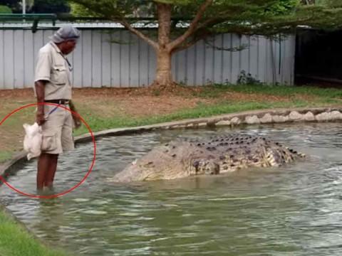 Hombre alimenta a enorme cocodrilo con pollo vivo