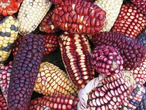 Garantía de maíz en tiempos de coronavirus