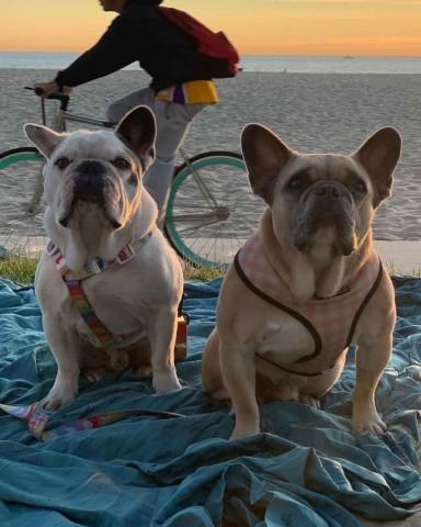Lady Gaga recupera sanos y salvos los dos perros que le robaron