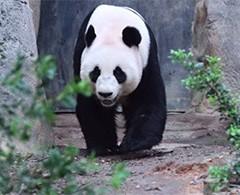 Pandas imponen récord de apareamiento ¡duran 40 minutos!