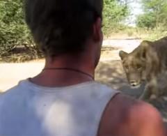 Perdura el profundo amor de una leona hacia sus rescatadores